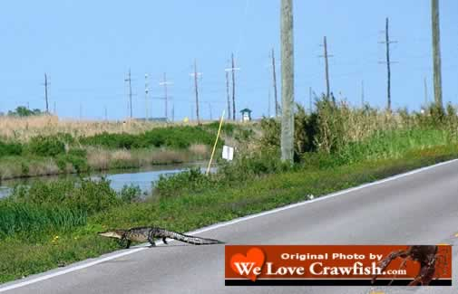Alligator crawling across a Louisiana highway