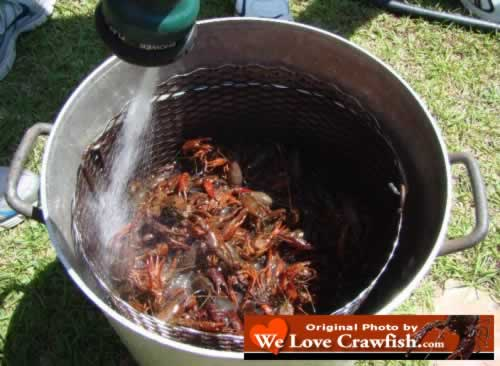 Cleaning the crawfish before the boil