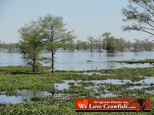 The Atchafalaya Swamp ... perfect breeding grounds for crawfish