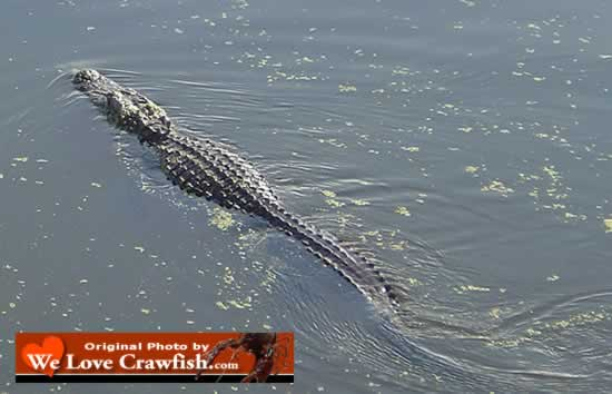 Alligator swimming near our boat while checking crawfish traps