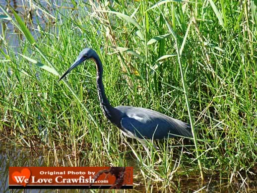 Birdlife abounds in the abundant waters of Louisiana: blue heron walks through high grass