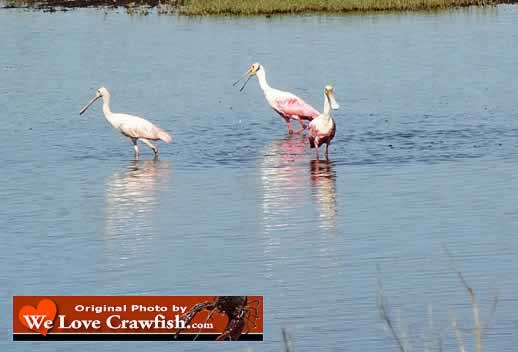 Roseate Spoonbills wading in shallow water in Louisiana